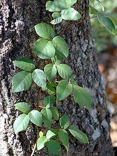 poison ivy found across US