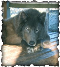 blue bay shepherd | the blue bay shepherd line he is a big male 32 at the shoulder dillon ...
