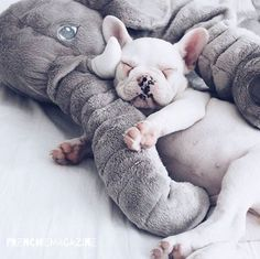 LOVE MY ELEPHANT .  @gokceyn  French Bulldog Puppy❤️