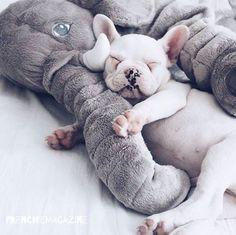 LOVE MY ELEPHANT . @gokceyn French Bulldog Puppy❤️