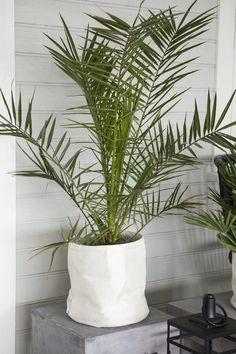 Phoenix palmer trives når planten er jevnt fuktig.