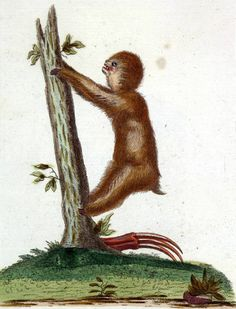 Leniwiec trójpalczasty /Bradypus tridactylus, paresseux, Dreifingriges Faulthier, sloth/ (Borowski 1783)