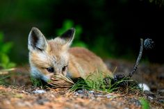 Red Fox Cub by H Atala on 500px