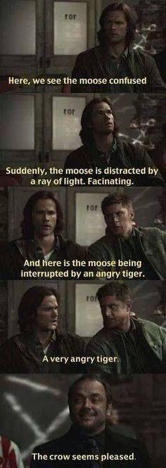 Moose, tiger, crow