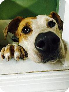 Tempe, AZ - Cattle Dog Mix. Meet Ginger, a dog for adoption. http://www.adoptapet.com/pet/10880938-tempe-arizona-cattle-dog-mix