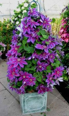 100pcs/bag Clematis seeds flowers clematis vine seeds perennial flower seeds climbing clematis plants bonsai pot garden plant