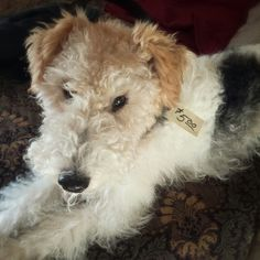 Wire Fox Terrier... Rugby