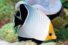 Saltwater Fish Tanks, Saltwater Aquarium, Aquarium Fish Tank, Colorful Fish, Tropical Fish, Pictures Of Sea Creatures, Marine Fish, Marine Tank, Beautiful Sea Creatures