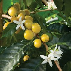 Yellow Cherry Coffee (Coffea arabica nana) - Fruiting Plants for Containers - Fruits