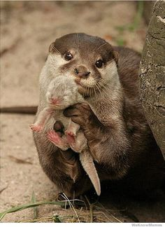 12 Adorable Pictures of Baby Otters- I could look at this all day
