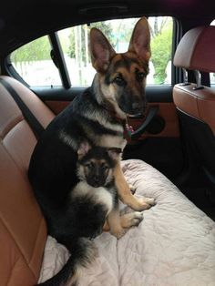 19 Terrible Facts About German Shepherds