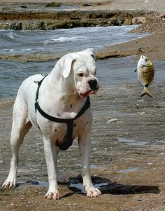 """HAHA! Im sure that boxer is thinking """"What the HECK IS THAT!?"""" #Boxer #funny"""