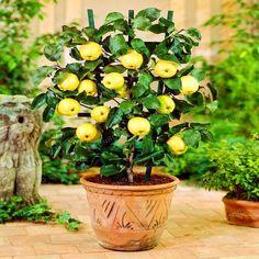 Apple Tree Seeds Dwarf Bonsai Apple Tree MINI Fruit Seeds For Home Garden Planting Dwarf Bonsai Apple Tree 50 PCS