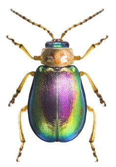 Sermylassa halensis Leaf Beetle, Beetle Insect, Beetle Bug, Insect Art, Weird Insects, Bugs And Insects, Beautiful Bugs, Amazing Nature, Beetles