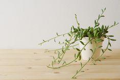 茎が伸び見た目が悪くなったアーモンドネックレスの調節 | ウチデグリーン | UCHI de GREEN Succulents, Herbs, Green, Plants, Succulent Plants, Herb, Flora, Plant, Spice