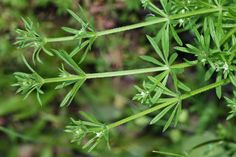 Galium aparine Other names: Goosegrass, Clives, Catchweed, Bedstraw, Little Swe… - Modern Witch School, Edible Wild Plants, Annual Plants, Kitchen Witch, Vegetable Stock, Herb Garden, Weed, Herbalism, Dandelion