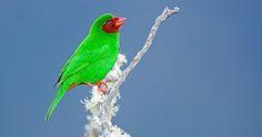 Grass Green Tanager: A Distinctive Small Passerine Bird