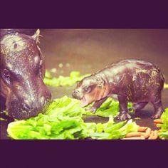 Baby hippo :)