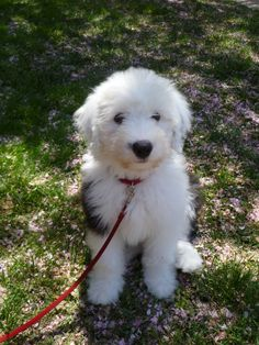My Old English Sheepdog puppy Dallas - 10 wks old.  Looks like our beloved Fletcher!  Hi, Fletcher!  We love and miss you so so so!
