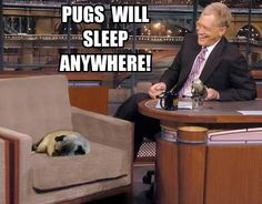 Even on David Letterman's show! Lucky pug~