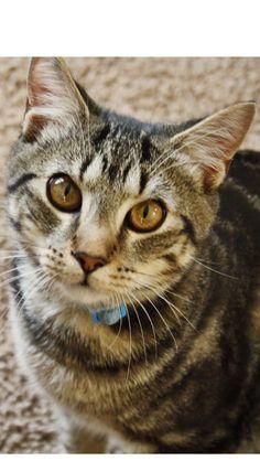 Milo Cat | Pawshake