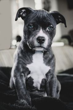 BLUE NOSED PITBULL