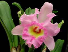 Gorgeous Orchid and pretty color, too! Orchid Leaves, Orchid Plants, Exotic Plants, Exotic Flowers, Amazing Flowers, Colorful Flowers, Tropical Flowers, Orchids, Beautiful Flowers