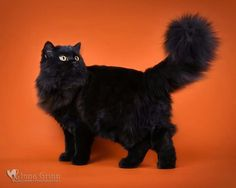 Black Persian Beautiful Cats Crazy Cats Cats And Kittens