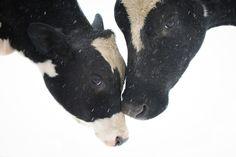 Farm Sanctuary rescues