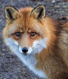 beautiful-wildlife:  Red Fox PortraitbyJohannes Jensås