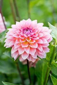 Best Pink Flowers for Your Lovely Garden