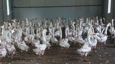 Ganzen na het plukken op de fokkerij in China
