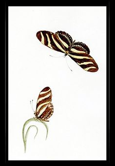 """Zebra Longwing Butterfly"" {Heliconius charithonia}  by Katherine Plymley."