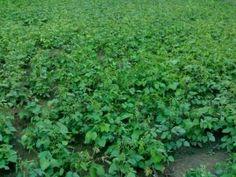MAŞ FASULYESİ - KAPPADOKİA TOHUM, ülkemizin alternatif tarla bitkileri tohumlukları üreten firmasıdır. Kinoa, amarant, ketencik, siyah beluga mercimeği, siyah nohut tohumlukları üretimi.