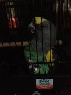 LOST MEYERS: 01/18/2016 - Queens, New York, NY, United States. Ref#: L22783 - #ParrotAlert #LostBird #LostParrot #MissingBird #MissingParrot #LostMeyers #MissingMeyers