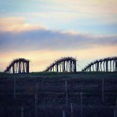 Is it just us, or do these vines look a little like Dinosaur spines exposed on the hill...? #Barossa #BarossaDirt #BarossaValley #vineyard #vines #wine #winery #winelover #sunset #clouds #SouthAustralia #viticulture