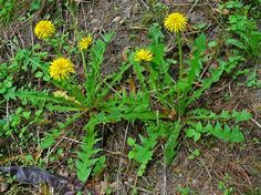 taraxacum officinale -(Dandelion)  Pat Used: Root, Leaves.  Medicinal Properties:  Fresh root tea used for liver, gall bladder, kidney, liver ailments; diuretic. Tonic for weak or impaired digestion. Dried lef tea is a laxative. Root is hypoglycemic, weak antibiotic against yeast infections(candida albicans), stimulates flow of bile, weight loss. All plant is edible.*WARNING* Contact dermatitus reported from handling plant, caused by latex in stems & leaves.