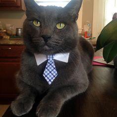 Happy birthday to my beautiful russian blue dublin - http://cutecatshq.com/cats/happy-birthday-to-my-beautiful-russian-blue-dublin/