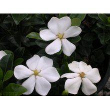 (3 pack 7oz Set) Gardenia