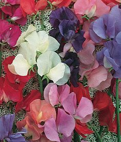 Eckfords Finest Mix Sweet Pea Seeds and Plants, Annual Flower Garden at Burpee.com