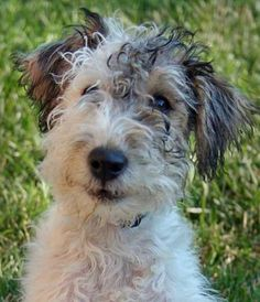 Scruffy wire-haired fox terriers are fab.