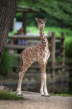 Baby Giraffes are cute too.