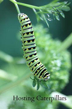Black swallowtail caterpillar munching parsley. #pollin8rchat Tuesdays 8pm CT www.thegardenbuzz.com