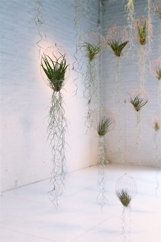 Tillandsia with spanish moss air planters