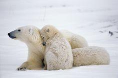 Family of polar bears, Churchill, Manitoba, Canada