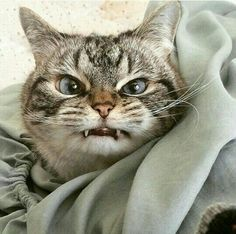 Gato - vampiro