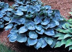 """(Mature Size: 17""""""""T x 42""""""""W)Heart-shaped leaves are bright blue in spring.The thick leaves are moderately corrugated and slightly cupped.Light lavender flowers in mid-summer. (E. Smith/BHHS 1988) Medi"""