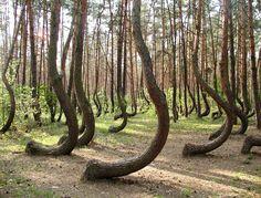 El misterioso bosque de árboles torcidos de Polonia - Taringa!