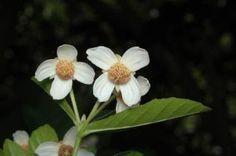 Sloanea australis