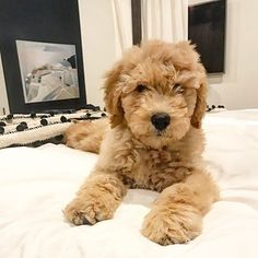 Goldendoodle - Tap the pin for the most adorable pawtastic fur baby apparel! You'll love the dog clothes and cat clothes! <3